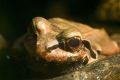Smokey Jungle Frog - Leptodactylus pentadactylus. The smoky jungle frog, also known as the  was discovered in 1824. This frog spends most of its time in the Royalty Free Stock Image