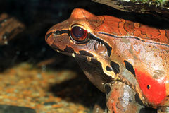 Smokey jungle frog. (Leptodactylus pentadactylus Royalty Free Stock Images
