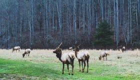 Smokey Mountains Elk fotografie stock libere da diritti
