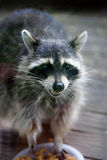 smokey raccoon fotografia stock