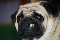 Smoking. Dog holds a cigarette in his mouth Royalty Free Stock Photo