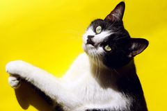 Smoking Cat On Colorful Background Animali, concetto degli animali domestici immagini stock