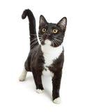Smoking curioso Cat Walking Forward Fotografia de Stock Royalty Free