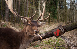 Smoking deer Royalty Free Stock Photo