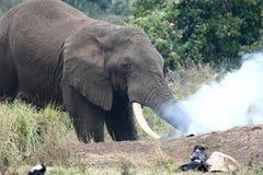 Smoking elephant Royalty Free Stock Photo