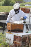 Smoking or Fogging Beehive Box. A Beekeeper smokes or fogs active bees to calm them before removing the honey Royalty Free Stock Images