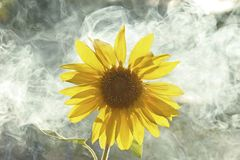 Smoking Sunflower. Sunflower with smoke in the background Royalty Free Stock Photo