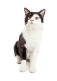 Smoking sveglio Cat Sitting Looking Up Fotografia Stock