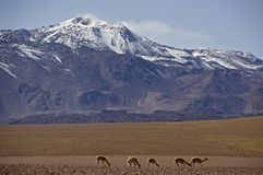 Smoking volcano in Atacama, Chile, with vicuna Stock Images