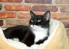 Smokinggestreepte kat in bed voor bakstenen muur Stock Foto