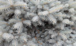 Smoky background of spruce. A background of beauty. stock images