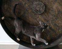 Smoky cat. Stock Photos
