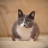 Smoky-gray domestic cat. Royalty Free Stock Photos