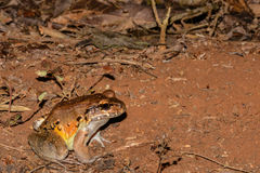 Smoky Jungle Frog Royalty Free Stock Image