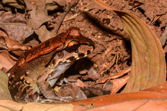 Free Smoky Jungle Frog Stock Photo - 91967270