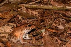 Smoky Jungle Frog Stock Image