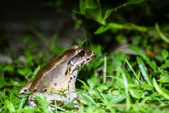 Smoky Jungle Frog Leptodactylus pentadactylus. Smoky Jungle Frog out at night,  taken in Costa Rica royalty free stock images