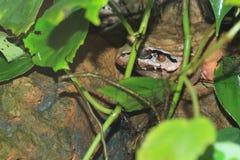 Smoky jungle frog. On the rock Stock Photo