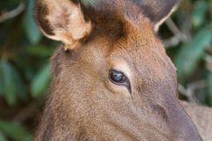 Smoky Mountain Elk in Cataloochee North Carolina up close. Closeup of female cow elk showing off brown eyes in cataloochee valley of the Smoky Mountains stock photo