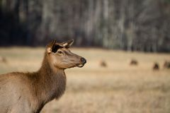 Smoky Mountain Elk Doe in fall stock images