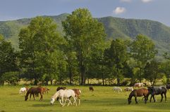 Smoky Mountains Cades Cove in Late Spring. A scenic view of Cades Cove and Horses in Great Smoky Mountains National Park, Tennessee, USA Royalty Free Stock Photography