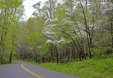 In spring, a small road travels through blooming Dogwoods and green leaves. Royalty Free Stock Photo