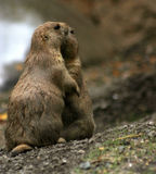 Smooch. Two prairie dogs that look like their kissing Royalty Free Stock Images