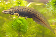 Smoot newt on plant Stock Image