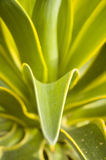 Smooth Agave (Agave desmetiana Royalty Free Stock Photos