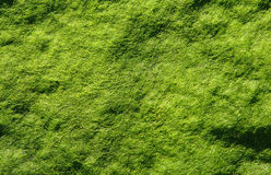 Smooth Algae. Moist algae carpet exposed to sunlight Stock Photography