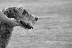 Smooth assistance. A hand holding softly the head of an Irish Wolfhound Royalty Free Stock Photo