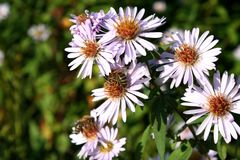 Smooth Aster Royalty Free Stock Photo