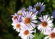 Smooth Aster Royalty Free Stock Images