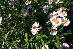Smooth Aster Royalty Free Stock Image