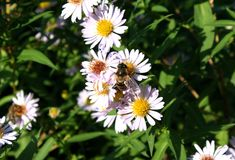 Smooth Aster Stock Photo