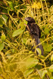 Smooth-billed Ani Royalty Free Stock Image