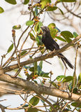 Smooth-billed Ani on branch Stock Photo