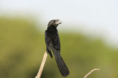 Smooth-billed ani,  Crotophaga ani Royalty Free Stock Image