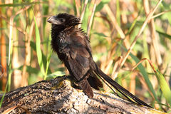 Smooth-billed Ani (Crotophagai) Royalty Free Stock Photo