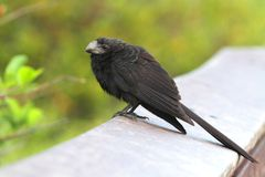 Smooth-billed Ani (Crotophagai) Stock Images