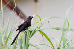 A Smooth-billed Ani Stock Photos