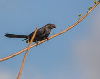 Smooth-billed Ani Royalty Free Stock Photo