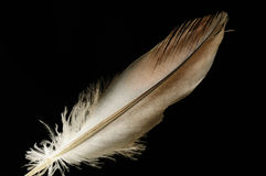 Smooth Bird Feather Stock Photography