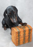 Smooth black and tan dachshund with metal-covered wooden vintage casket Royalty Free Stock Images