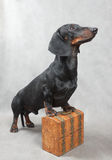 Smooth black and tan dachshund with metal-covered wooden vintage casket Stock Image