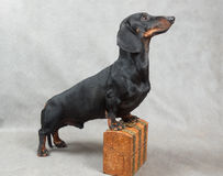 Smooth black and tan dachshund with metal-covered wooden vintage casket Stock Photography