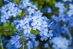 Smooth blue flowers background Royalty Free Stock Images