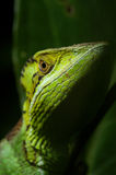 Smooth casque headed Basilisk 1. Smooth casque headed Basilisk, photographed in the Chiquibul Forest Reserve, Belize CA Stock Image