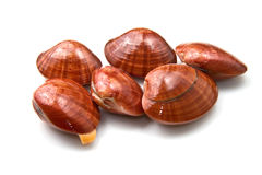Smooth clams Stock Image