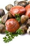 Smooth clams Stock Photography